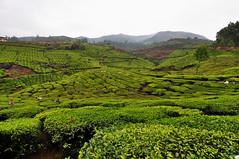 India - Kerala - Munnar - Tea Plantagen - 233 (asienman) Tags: india kerala munnar teaplantagen asienmanphotography