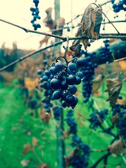 After The Rain in Vermont (Professor Bop) Tags: wilmingtonvermont drjazz olympusem1 professorbop grapevine grapes rain water fall autumn vines nature