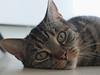 Katze Momo (Antje_Neufing) Tags: katze nase auge cat momo face gesicht love süs sweet