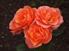 Orange roses (ekaterina alexander) Tags: orange roses autumn flowers ekaterina alexander photography england sussex flower pictures
