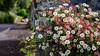 Urban flowers, Oil Paint (S.R.Murphy) Tags: landscape sigma30mm sonynex6 urbanlandscape oilpainting oilpaintfilter photoshop garden flower flowers colour flickexplore18112017 inexplore