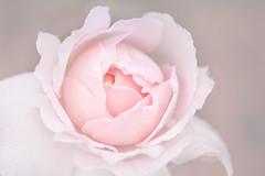 teint de rose (christophe.laigle) Tags: rose christophelaigle fleur macro nature flower fuji tendre teint xpro2 xf60mm softness ngc npc