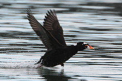 The rush to Black Friday! :) (Paridae) Tags: scoter surfscoter tribemergini melanittaperspicillata seaduck malescoter malesurfscoter skittering bayduck divingduck duck thingswithwings featheredfriends birdsofafeather birdsoftsawwassen afewofmyfavouritethings canoneos7d canon500mm