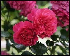 "Rose ""Uetersen"" (radspix) Tags: rose uetersen sony a7r 80205mm super ozeck auto zoom mc f45"