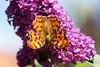C-Falter (Polygonia c-album) (jef doro) Tags: schmetterling butterfly insekt cfalter polygoniacalbum edelfalter nymphalidae tagfalter