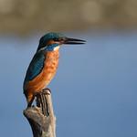 Kingfisher. (Explored) thumbnail