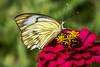 Alana White Skipper on dwarf Zinnia (PriscillaBurcher) Tags: heliopetesalana heliopetes pyrginae skipper whiteskipper veinedwhite butterfliesfromcolombia mariposasdecolombia alanawhiteskipper l1260053 coth5