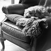 Dogs Favourite Chair (jayneboo) Tags: 365 odc chairs dog snooze poopy dora bw mono kitchen home cockerpoo