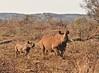 """Wait For Me Mommie"" (The Spirit of the World) Tags: rhino babyrhino youngrhino bush brush woodlands madikwe southafrica africa safari gamedrive gamereserve raresighting nature wildlife mountains"
