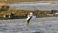 Shelduck (Steve C Waddingham) Tags: stevenwaddinghamphotography bird british countryside coast duck flight nature wild wildlife water wildfowl