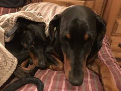 Bed Time - Tell Me A Story, Mummy - Dobermann Pinschers Saxon And Gabbana (firehouse.ie) Tags: pero hund animal canine k9 dogs dog pinschers pinscher dobermanns dobermans dobermann doberman dobies dobie dobeys dobey dobes dobe saxon gabbana