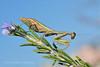 Iris oratoria Tarachodidae (Nikos Roditakis) Tags: iris oratoria tarachodidae cretan insects orthoptera greek european mediterranean predatory nikos roditakis nikon d5200 macro tamron af sp 90mm f28 usd di