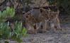 DSC_2713.jpg (Mike/Claire) Tags: lioncub 2016 southafrica tandatula timbavati