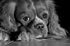 A Dog's life (evelienluijckx) Tags: dreaming life nature dream dogs doggystyle friendship friend animal black spaniel cavalierkingcharles cavalier dog