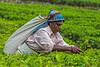 Tea Leaf Picker, Blue Field Tea Plantation, Sri Lanka (bfryxell) Tags: bluefieldteafactory bluefieldteaplantation nuwaraeliya srilanka tealeaf tealeafpicker teaplant teaplantation