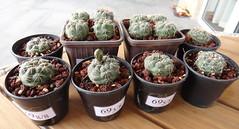 Gymnocalycium baldianum seedlings, 2 years old (armen.cactus) Tags: cactus succulent gymnocalycium baldianum seedlings