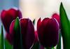 dark side of the tulips (marinachi) Tags: tulip macro closeup flowers red purple plant