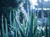 Spears (ursulamller900) Tags: pentacon2829 yucca blue bokeh mygarden spears speere