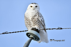 Snowy Owl DSC_2413 (Ron Kube Photography) Tags: owls bird birds nature fauna ornithology owl snowy snowyowl birdofprey raptor alberta southernalberta nikon nikond500 canada d500 ronaldok globalbirdtrekkers buboscandiacus ronkubephotography