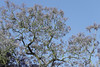 Jacaranda (Alef1961) Tags: jacaranda tree arbol primavera spring violet violeta flores flowers