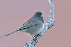 Dark-eyed Junco (Oregon) (Alan Gutsell) Tags: darkeyed junco darkeyedjunco sparrow oregon alan nature bird emberizine new mexico state santafe wildlife photo pink