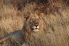 A Confession (The Spirit of the World ( On and Off)) Tags: lion male mane grasses tallgrasses wild bush brush grasslands safari gamedrive gamereserve madikwe southafrica africa wildlife nature funny humor