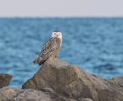 Snowy Owl (Bubo scandiacus) (Gavin Edmondstone) Tags: buboscandiacus snowyowl bronteharbour oakville ontario lakeontario
