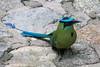 Andean Motmot (pajarero) Tags: peru november 2017 fam inkaterra machu picchu andes motmot bird colorful beautiful tropical