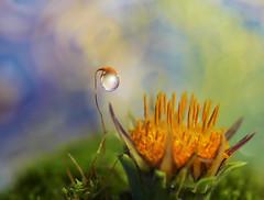 Happy daisy day (miss gecko) Tags: daisy happy joy macro moss waterdrop