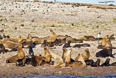 Congregacion de Lobos Marinos (pniselba) Tags: camarones chubut argentina mar sea ocean oceano lobomarino lobo southamericansealion sealion