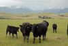 Livestock091 (NRCS Montana) Tags: livestock pasture pestmanagement weeds weedcontrol