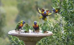 Splash! (ChrisKirbyCapturePhotography) Tags: rainbowlorikeets splash birds australianbirds garden birdbath chriskirbycapturephotography