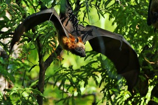 Madagascan Fruit Bat (Eidolon dupreanum)