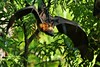 Madagascan Fruit Bat (Eidolon dupreanum) (Susan Roehl) Tags: madagascar2017 islandofmadagascar offtheeastcoastofafrica madagascanfruitbat mammal animal eidolondupreanum pteropodidaefamily listedasvulnerable bushmeattrade coastalplain highplateau mainlyeatsfruit eucalyptusleaves feedsonnectartoo asingleoffspringproduced slowproductiverate trees air outdoors caves rockfissures sueroehl photographictours naturalexposures panasonic lumixdmcgh4 100400mmlens handheld cropped