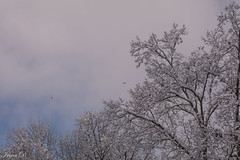 A touch of blue (Irina1010) Tags: trees snow whiteclouds sky blue atouchofblue birds flying nature winter december2017 beautiful canon ngc npc