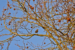 Redwing (Turdus iliacus) (Caulker) Tags: canonspark sky tree bird redwing december 2017