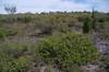 Grevillea thelemanniana, Yule Brook Reserve, Kenwick Wetlands, Perth, WA, 06/10/17 (Russell Cumming) Tags: plant grevillea grevilleathelemanniana proteaceae yulebrookreserve kenwickwetlands perth westernaustralia