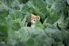 explorer (LeonArts.at) Tags: cat katze blatt leave blätter leaves entdecker explorer forscher erkunden exploration entdeckung discovery research researcher erkunder erkundung recovery serendipity