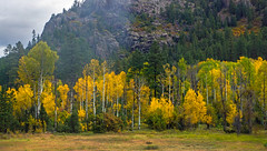 aspen grove - Animas River valley - San Juan Nat. Forest, Colorado, USA (Russell Scott Images) Tags: autumn fall colours animasrivervalley sanjuannationalforest heritage durangosilvertonnarrowgaugerailroad trainline colorado usa russellscottimages