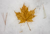 'Oh Canada' (Canadapt) Tags: leaf maple winter snow pine needles keefer canadapt