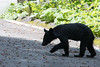 Ursus thibetanus (kenta_sawada6469) Tags: mammal mammals mammalia nature wildlife japan mountain forest animal bear blackbear japanese