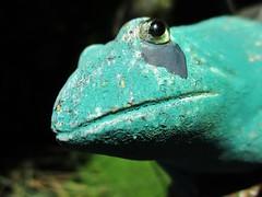 """Blue posion dart frog"" (seanwalsh4) Tags: bluepoisondartfrog nature funny nothernbrazil dendrobatestinctoriusazureus frog highlytoxic stonegardenornament joke bristol seanwalsh humour makemesmile 7dwf sundaysfauna"