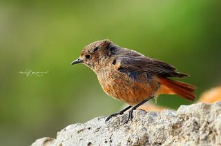 Redstart female