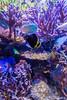 Coral Reef (California Academy of Sciences) (astrofan80) Tags: aquarium california californiaacademyofsciences fische kalifornien korallen museum naturkundemuseum riff rundreise sanfrancisco stadt usa wasser