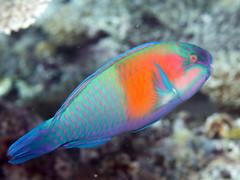 Bower's parrotfish (Chlorurus bowersi)