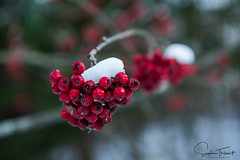 Cormes (www.sophiethibault.ca) Tags: 2017 novembre québec canada nature cormes sorbierdomestique fruits hiver macro neige arbre