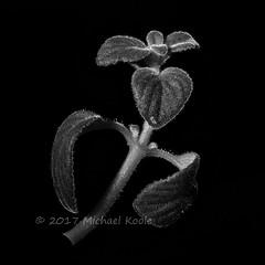 Dark Abstract - Hugz (Michael Koole - Vision Three Images) Tags: michaelkoole nikon d300 nikkor 50mmf14d sb600 cls strobist monochrome bw shoot52 week45 plant darkabstract abstract