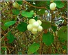 Snowberry Plant ... (** Janets Photos **) Tags: uk nature plants flowers flora whiteberries snowberry