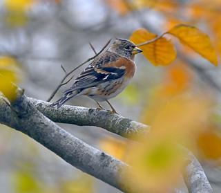 Brambling in Autumn leaves