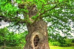 Methuselah (eetee2007 (300K, I thought I´d never make it.)) Tags: eiche oak volkenroda thüringen